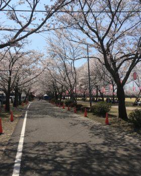 桜前線爆発中!